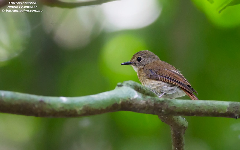 Fulvous-chested Jungle Flycatcher