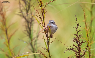 Chats, Old World Flycatchers Family Muscicapidae