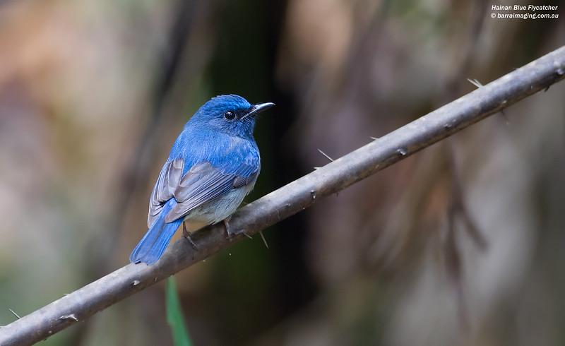 Hainan Blue Flycatcher male