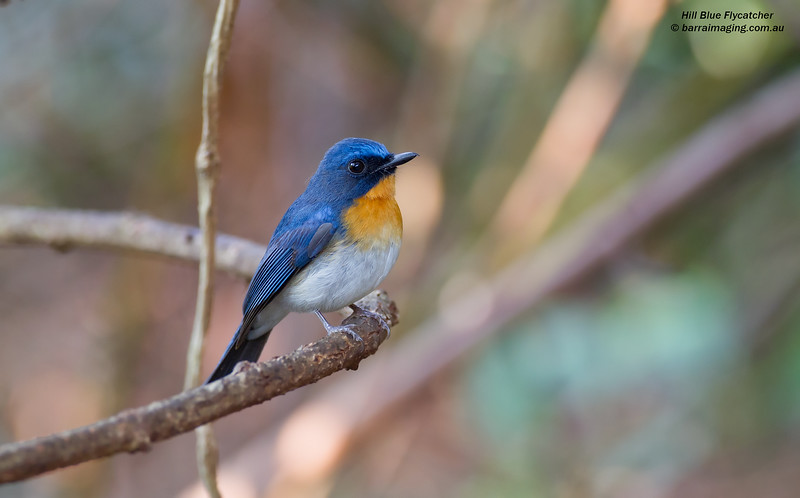 Hill Blue Flycatcher male