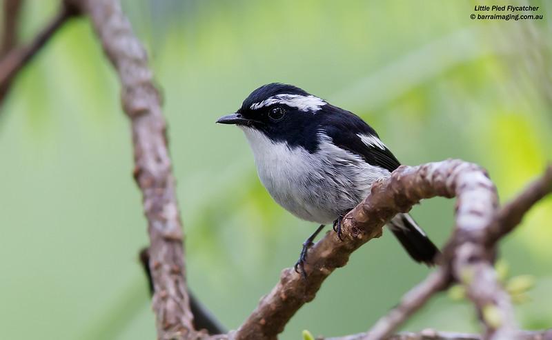 Little Pied Flycatcher male