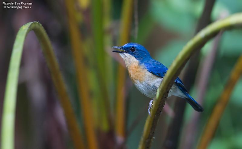 Malaysian Blue Flycatcher female