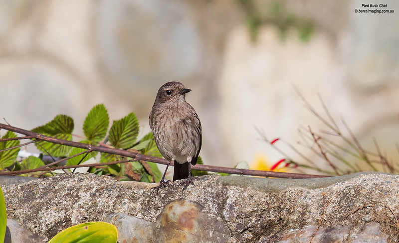 Pied Bush Chat female