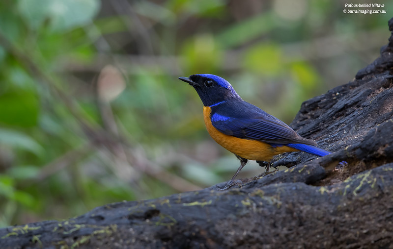 Rufous-bellied Niltava male
