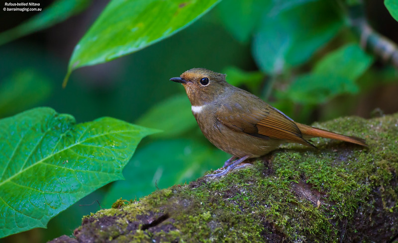 Rufous-bellied Niltava female