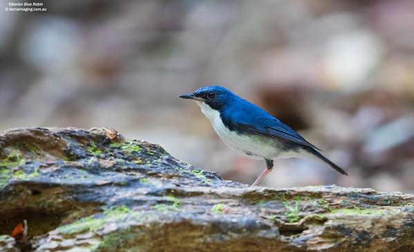 Siberian Blue Robin male