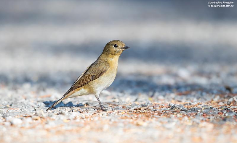 Slaty-backed Flycatcher female