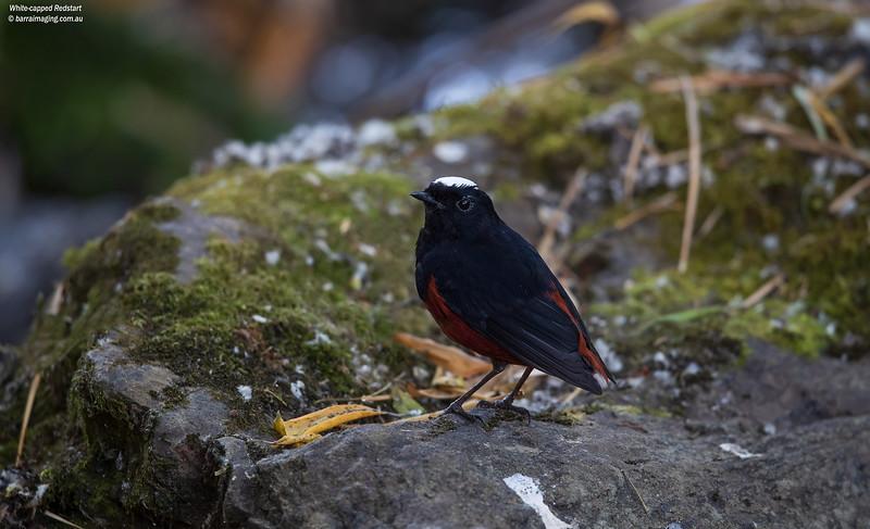 White-capped Redstart male