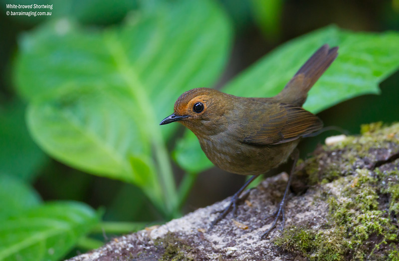 White-browed Shortwing female