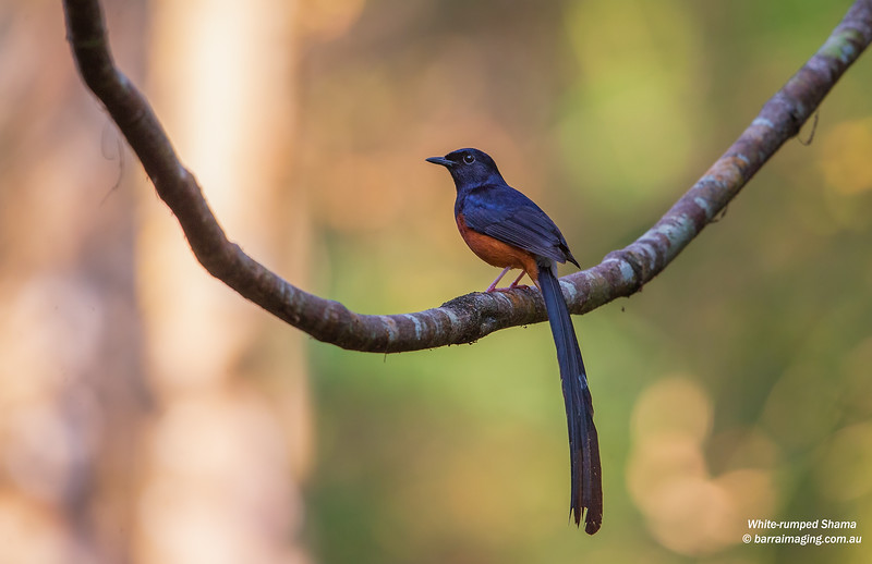White-rumped Shama male