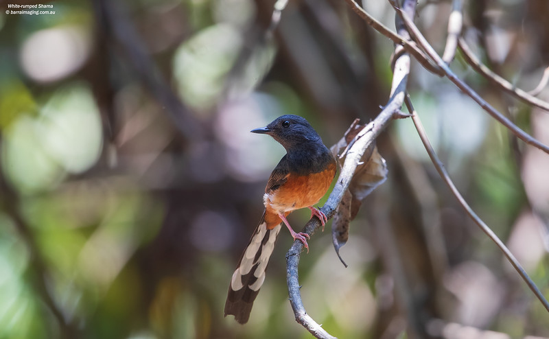 White-rumped Shama immature male