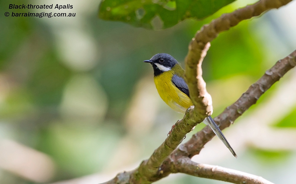 Black-throated Apalis