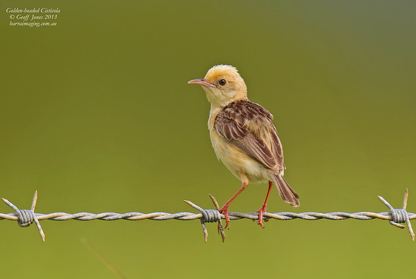 Golden-headed Cisticola worn breeding plumage