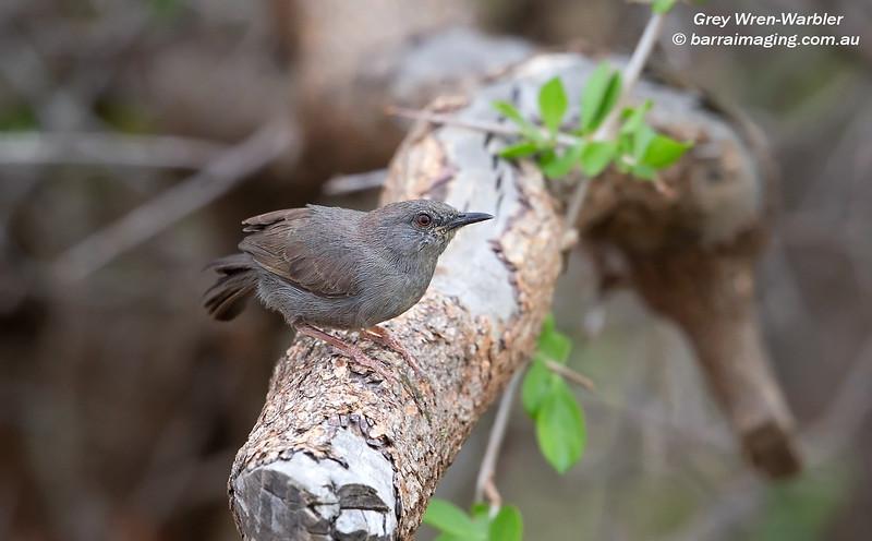 Grey Wren-Warbler