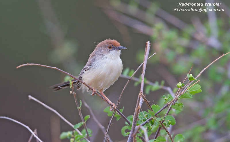 Red-fronted Warbler