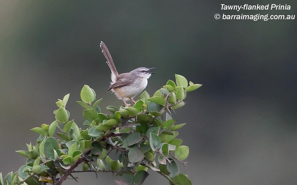 Tawny-flanked Prinia