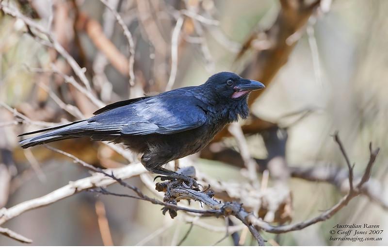 Australian Raven immature