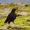 Carrion Crow Corvus corone North Berwick Scotland Aug 2013 UK-CACR-01