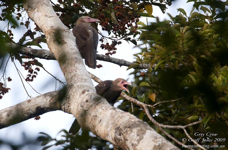 Grey Crow Corvus tristis Ekame PNG Sept 2009 PNG-GRCR-01