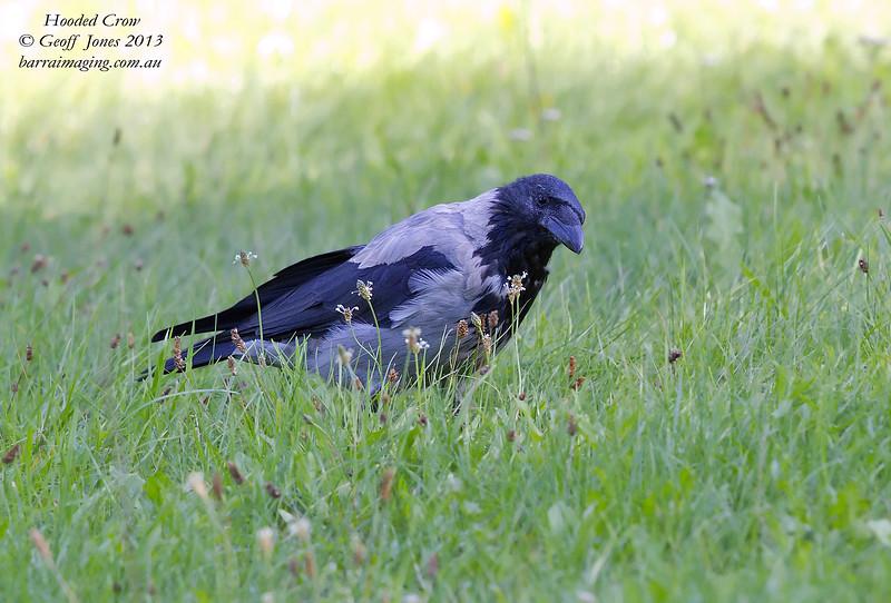 Hooded Crow Corvus cornix Warsaw Poland Sept 2013 POL-HOCR-01