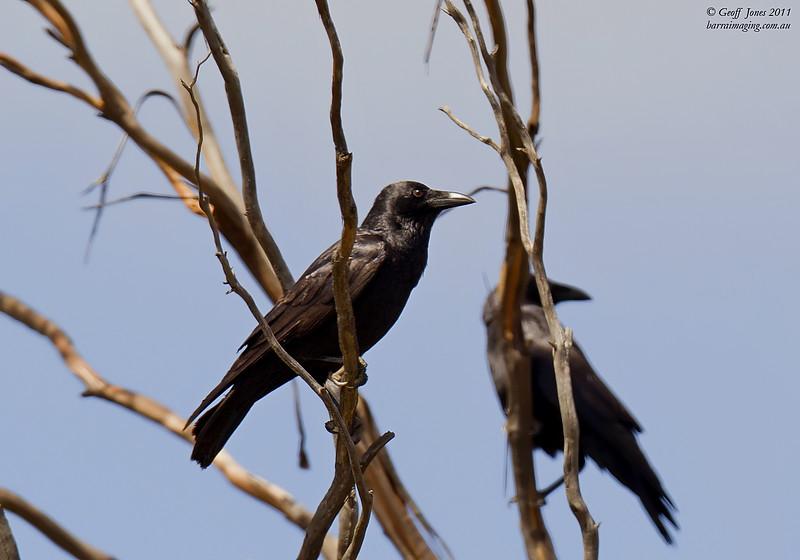 Little Crow immature