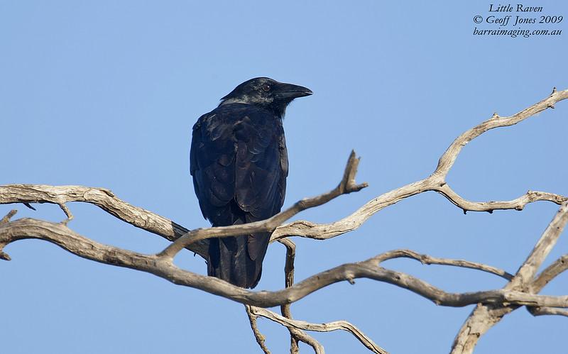 Little Raven immature