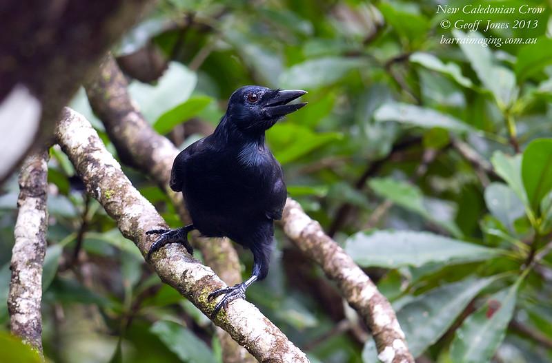 New Caledonian Crow Corvus moneduloides New Caledonia France April 2013 NC-NCCR-02