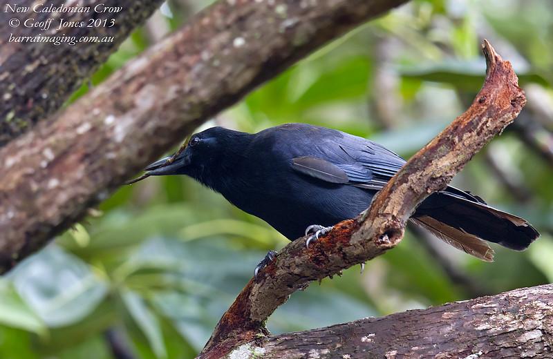 New Caledonian Crow Corvus moneduloides New Caledonia France April 2013 NC-NCCR-03