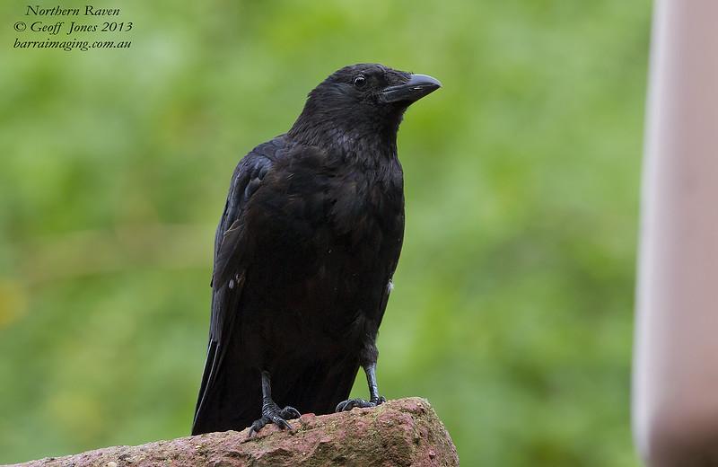Northern Raven Corvus corax St James Park London Aug 2013 UK-NORA-01