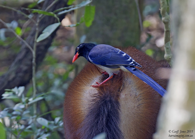 Red-billed Blue Magpie on the back of Sambar Deer