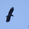 Slender-billed Crow Corvus enca Sukau Lodge Borneo June 2014 BO-SBCR-01