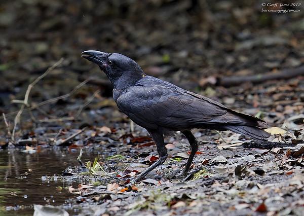 Torresian Crow immature