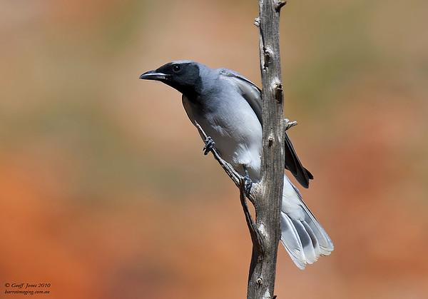 Black-faced Cuckoo-shrike