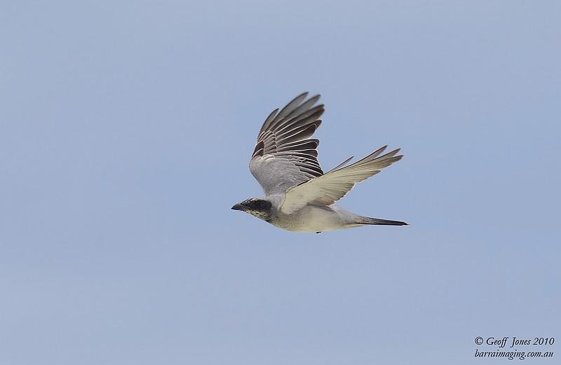 Black-faced Cuckoo-shrike immature