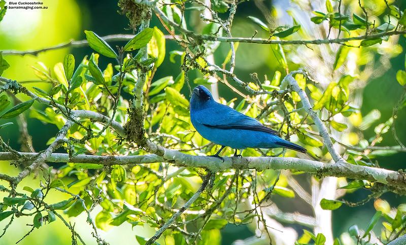 Blue Cuckooshrike