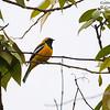 Golden Cuckooshrike Campochaera sloetii Tabulbil PNG Sept 2009 PNG-GOCS-01