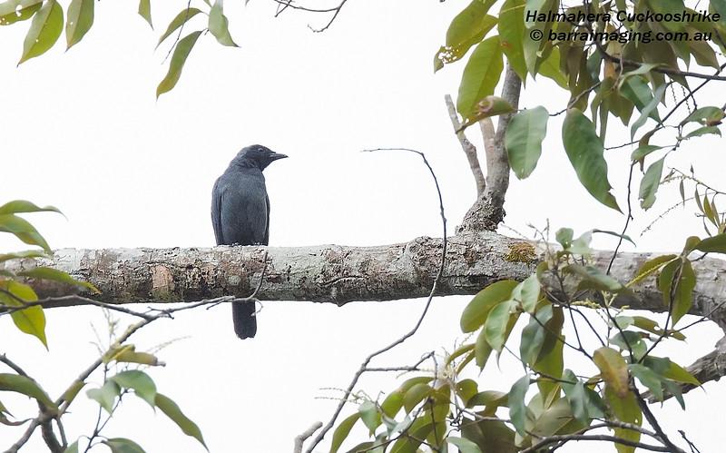 Halmahera Cuckooshrike
