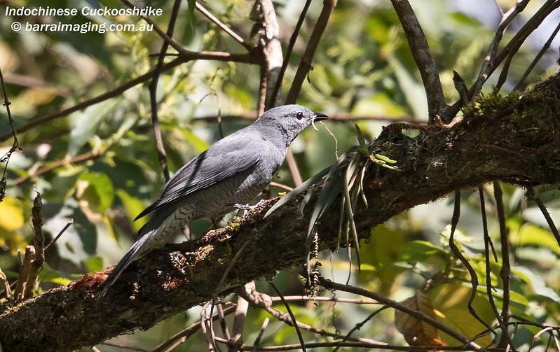 Indochinese Cuckooshrike