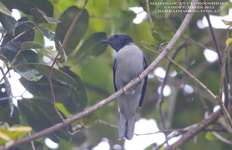 Madagascan Cuckooshrike