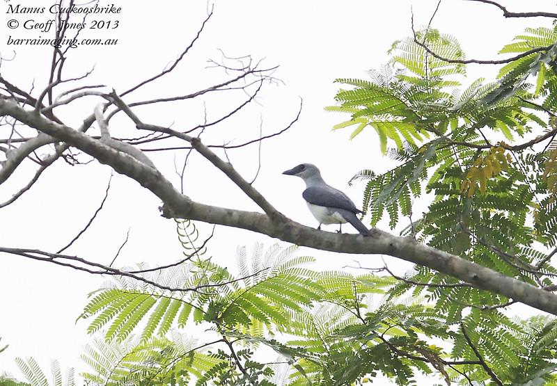 Manus Cuckooshrike Coracina ingens Manus Island PNG April 2013 PNG-MACS-02