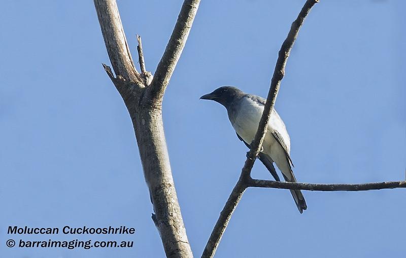 Moluccan Cuckooshrike