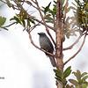 New Caledonian Cuckooshrike Coracina analis New Caledonia April 2013 NC-NCCS-01