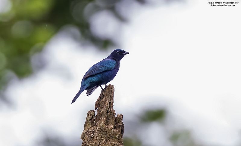 Purple-throated Cuckooshrike male