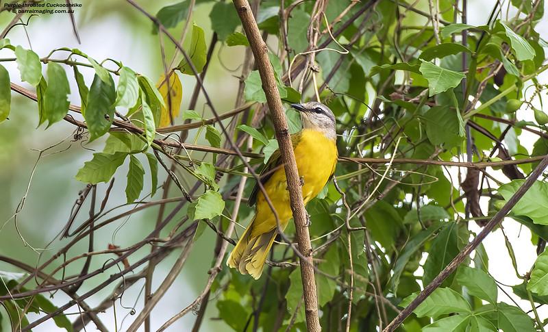 Purple-throated Cuckooshrike female