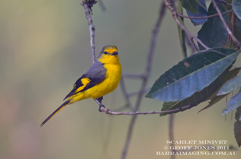 Scarlet Minivet female