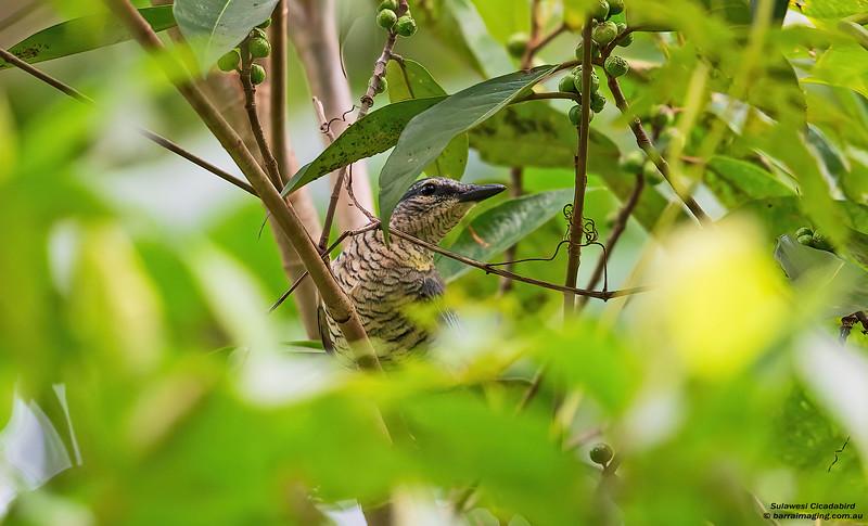 Sulawesi Cicadabird female