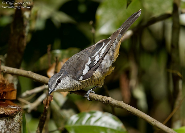 Varied Triller female
