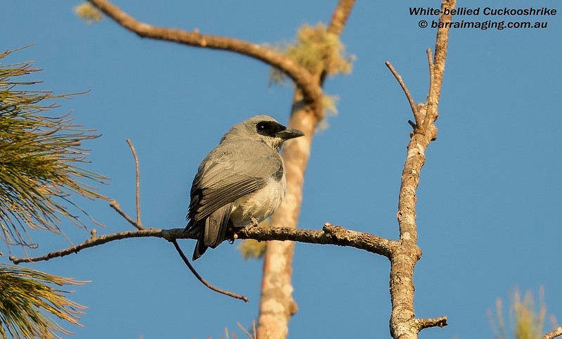 White-bellied Cuckooshrike