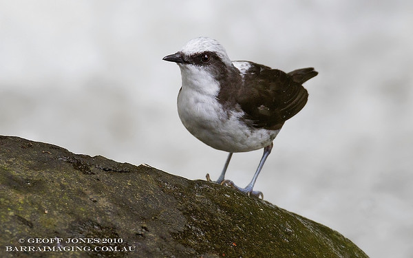 Dippers Family Cinclidae