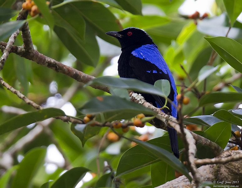 Asian Fairy-bluebird male